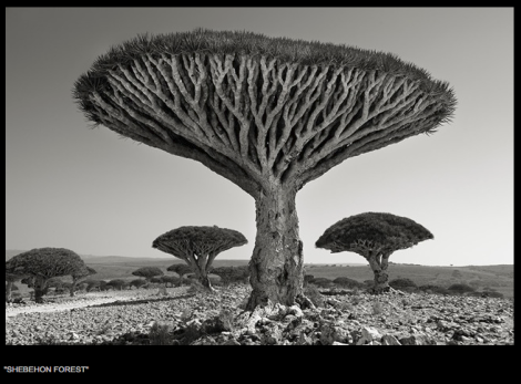 Beth Moon, Yemen, tree, Dragon's Blood, Socotra
