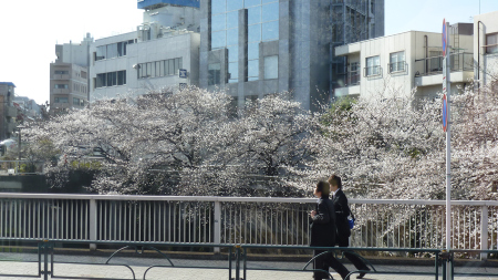 Blossom arrives in Tokyo.  Photo and permission Su Grierson